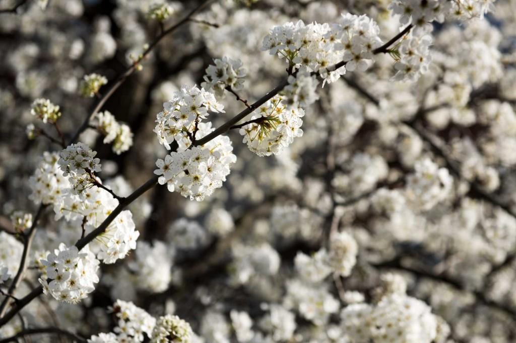 campus-trees-in-bloom-2