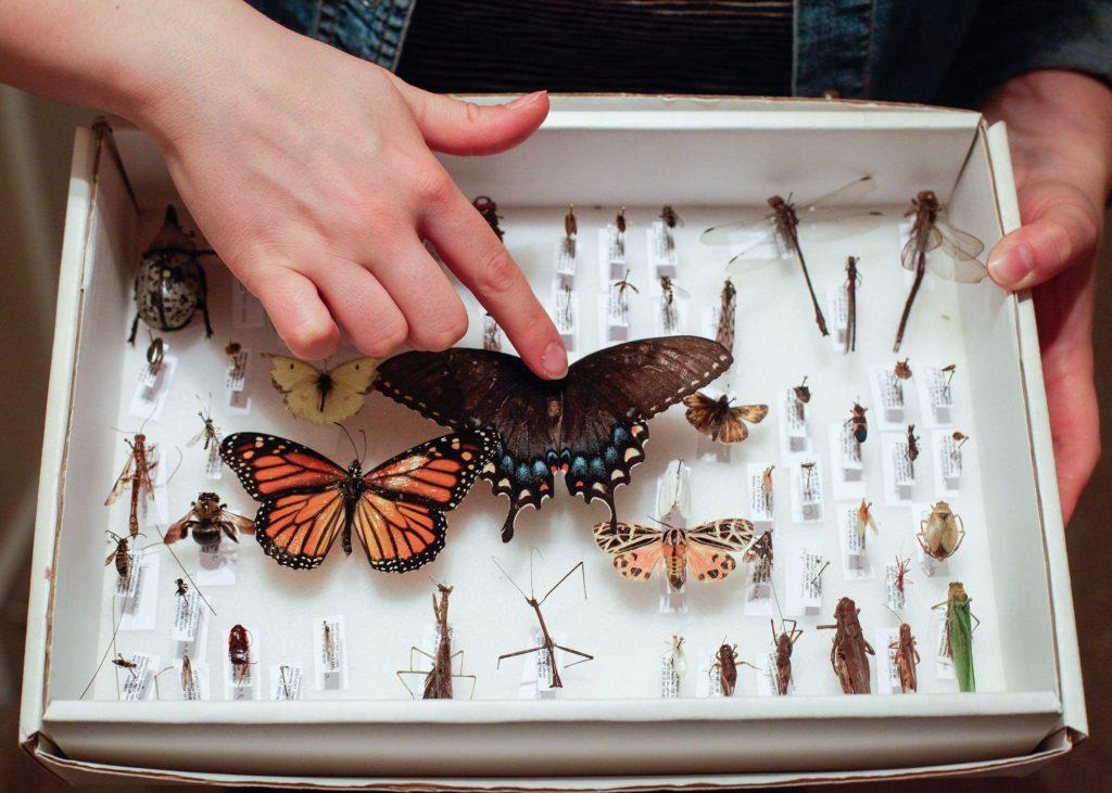 """TOP Laffoon shows her favorite insects she collected in her class on insect biodiversity. """"It took all semester to catch them all,"""" Laffoon said. """"The work was worth it, though. It's one of my favorite things in my room."""""""